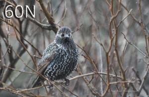 master starling